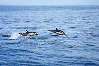 short-beaked common dolphin, Delphinus delphis, jumping, Mexico, Pacific Ocean