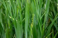 Winter wheat coming into ear - Lincolnshire, June