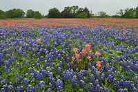 Indian Paintbrush (Castilleja miniata), Texas Bluebonnet (Lupinus texensis), mixed wildflower field, Floresville, Texas, USA