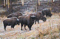 Bison graze along the roadside of the Alaska Highway in British Columbia, Canada.