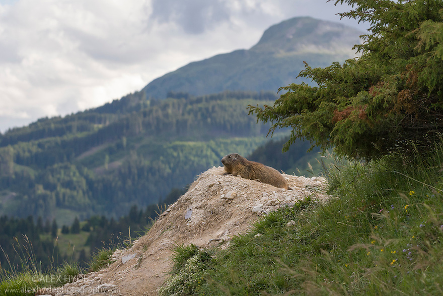 Alpine marmot (Marmota marmota) at burrow entrance with mountain landscape in background. 1700 metres, Nordtirol, Austrian Alps. June.