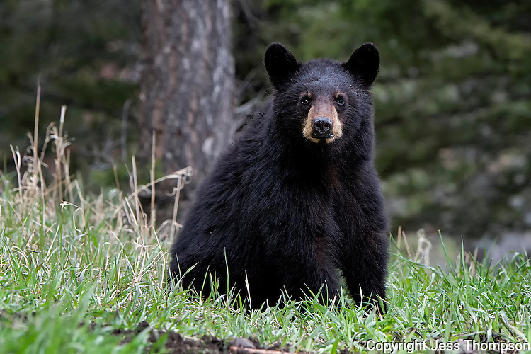 Two year old Black Bear Cub, mother called Rosie, Yellowstone