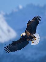 DIGITAL COMPOSITE: Bald Eagle, Homer, Southcentral Alaska