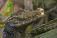 0519-07nn  Cuvier's Dwarf caiman - Paleosuchus palpebrosus - © David Kuhn/Dwight Kuhn