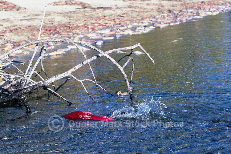 Annual Adams River Sockeye Salmon Run (Oncorhynchus nerka), Roderick Haig-Brown Provincial Park near Salmon Arm, BC, British Columbia, Canada - Fish returning to Spawn - note piles of dead fish rotting on shore