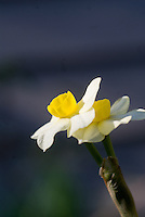 Narcissus daffodil Minnow, white petals with yellow corona, small daffodil