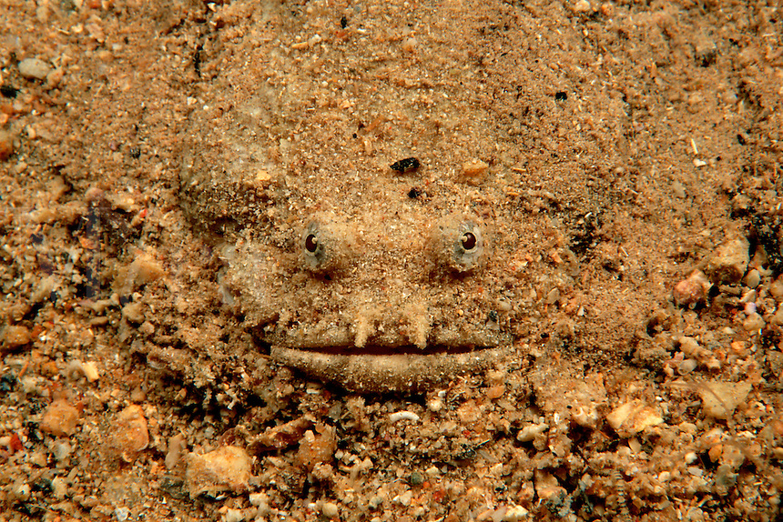 Toadfish, Batrachoides surinamensis, are often found lying motionless in the sand with only their head exposed . It uses its camouflage to capture unsuspecting prey, Caribbean