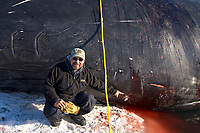 inupiaq whaler Ned Arey points out a wound on a bowhead whale, Balaena mysticetus, from a whaling bomb used by Yankee whalers dating back to 1878, Chukchi Sea, Barrow, Arctic Alaska