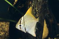 Silberflossenblatt, Monodactylus argenteus, Chaetodon argenteus, Acanthopodus argentus, silver moony, mono argentus, silver moonfish, fingerfish, Malayan angel, Le poisson-lune argenté