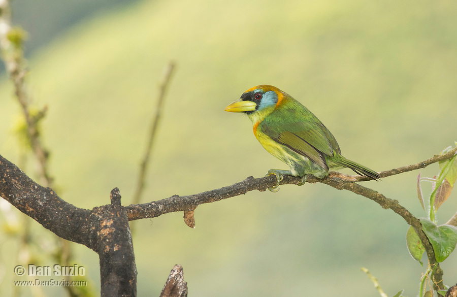 Female red-headed barbet, Eubucco bourcierii. Tandayapa Valley, Ecuador