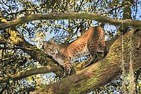 Bobcat, Lynx rufus, Florida, captive
