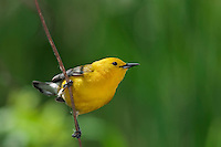 Prothonotary Warbler (Protonotaria citrea) in spring. The only warbler in eastern North America that builds its nest in tree cavities, its breeding range includes much of eastern USA north to extreme southwestern Ontario, Canada, where it has been classified as endangered.