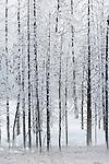 Hoarfrost on Burned Trees, Yellowstone NP, WY, USA