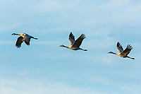 Lesser Sandhill Cranes (Grus canadensis canadensis) in flight formation, California.