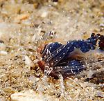 Sand Anemone eating Portuguese Man-o-War Jellyfish , Blue Heron Bridge; Lake Worth Inlet; Florida; USA; Amazing Underwater Photography; Marine behavior