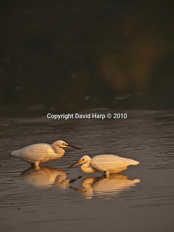 Great egrets reflected in a Chesapeake Bay creek