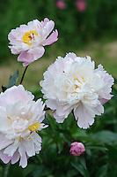 Paeonia 'Pure Delight' (Peony)