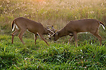 White-tailed buck sparring