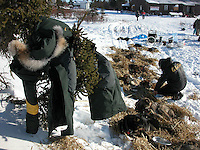 Jon Little.Jeff King looks over his 13 dogs at Koyuk as he airs out his trans-Alaska suit in a spruce tree, March 13, 2006