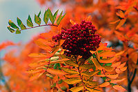 Mountain Ash (Sorbus) and Berries, Autumn / Fall