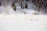 Aerial of John Bakers team running down frozen Yukon River headed to Nulato 2006 Iditarod Alaska Winter