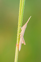 A slender dew-covered immature Toothpick Grasshopper (Mermiria Group) perches on a vegetation.