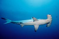 scalloped hammerhead shark Sphyrna lewini Galapagos Islands, Ecuador, East Pacific Ocean