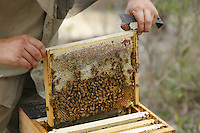 A brood frame with honey from a frame deep within the body of a Warré hive.///Un cadre de couvain avec du miel d'un cadre de corps de ruche warré.
