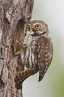 Ferruginous Pygmy-Owl, Glaucidium brasilianum, adult at nesting cavity with lizard prey, Willacy County, Rio Grande Valley, Texas, USA, June 2006