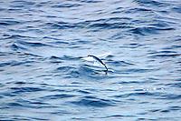 Flying Fish near White Island, New Zealand