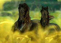 Two Friesian stallions in foxtail grass.