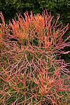 EUPHORBIA TIRUCALLI, PENCILBUSH OR PENCIL TREE, LEAFLESS SUCCULENT