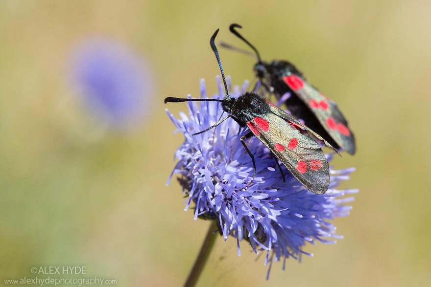 Six-spot Burnets {Zygaena filipendulae} including mating pair feeding on Sheep's-bit {Jasione montana}, Devon, UK. June.