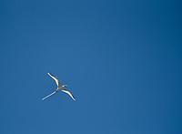 White-tailed Tropicbird (Phaethon lepturus)-- Kauai. Photo by James R. Evans