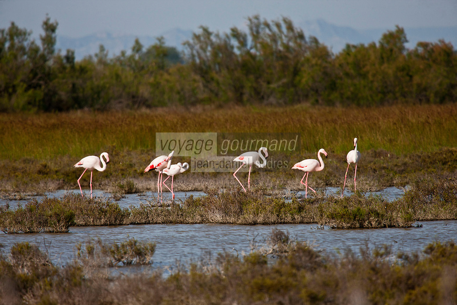 Europe/France/13/Bouches du Rhone/Camargue/Parc Naturel Régionnal de Camargue/Arles/Env de  Salin-de-Giraud: Tour du Valat - Flamants roses