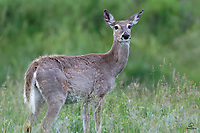 Female White-tailed Deer (Odocoileus virginianus) pauses to check out the photographers, while she feeds on grass.  Her year-old fawn is nearby, so the doe was doubly alert. Custer State Park, Black Hills, South Dakota.