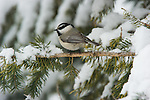 A black-capped chickadee perched in on a branch in Northwest Wyoming.