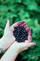 Handfull of Huckleberries (Vaccinium membranaceum)