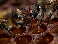 Honey is made from the flowers' nectar, certain components of which are hard to digest. When the worker bees bring the pollen back to the hive, they transfer it through trophallaxis (mouth-to-mouth) to the receiving bees. These latter transfer it several times between their mouth and their crop then pass it on to other receiving bees and so on. Under the effects of an enzyme from glandular secretions, the invertase, the sugars are slowly modified.<br /> Le miel est fabriqué à partir du nectar des fleurs dont certains composants sont difficiles à digérer. Lorsque que les ouvrières le rapportent à la ruche, elles le transmettent à des receveuses par trophallaxie (bouche-à-bouche). Celles-ci le font alors transiter plusieurs fois entre leur bouche et leur jabot puis le passent à d'autres receveuses et ainsi de suite. Sous l'effet d'une enzyme issue de sécrétions glandulaires, l'invertase, les sucres sont lentement modifiés.