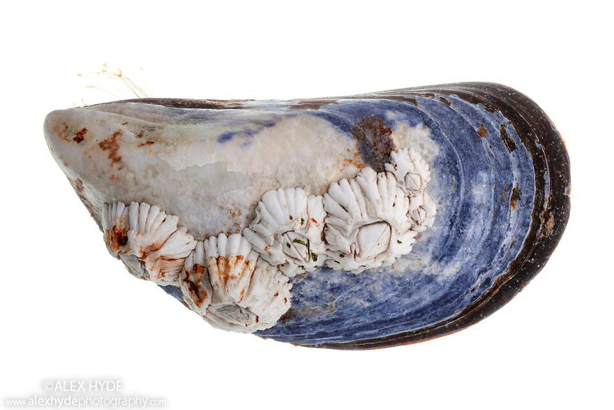 Acorn barnacle (Semibalanus balanoides) growing on shell of Common Mussel {Mytilus edulis}