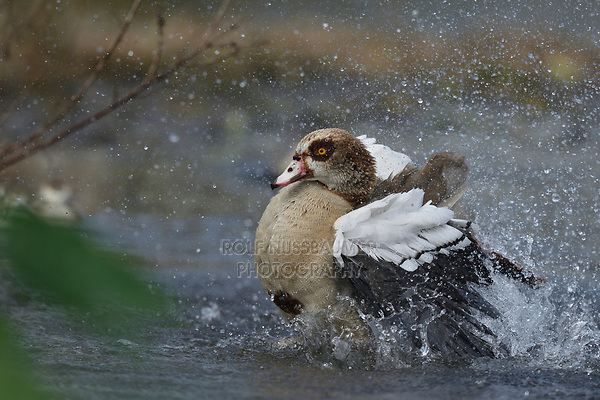 Egyptian Goose (Alopochen aegyptiaca), adult bathing, Hill Country, Central Texas, USA