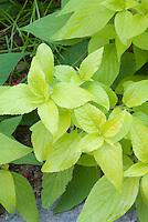 Salvia elegans 'Golden Delicious' with yellow foliage