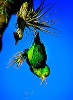 Animais. Aves. Periquito Tuim (Forpus xanthopterygius). SP. Foto de Silvio Dutra.
