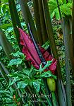 Dracunculus, Voodoo Lily, Arum Dracunculus, Cypress Garden, Mill Valley, California