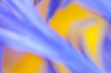 Abstract of cornflower petals. UK.
