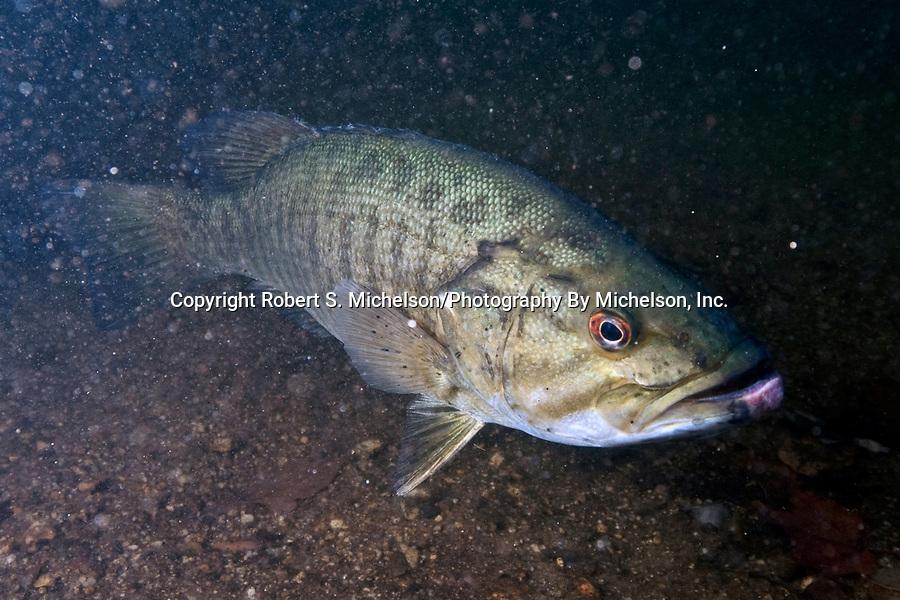 Smallmouth Bass, 45 degrees to camera