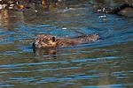 A beaver swims through a pond in Denali National Park, Alaska.