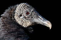 Black Vulture (Coragyps atratus). Big Cypress National Preserve, Florida. March.