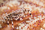 Anda, Bohol, Philippines; a zebra crab on a colorful Magnificent Fire Urchin (Asthenosoma ijimai)