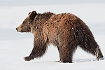A grizzly bear cub walks across snow in Grand Teton National Park, Wyoming.